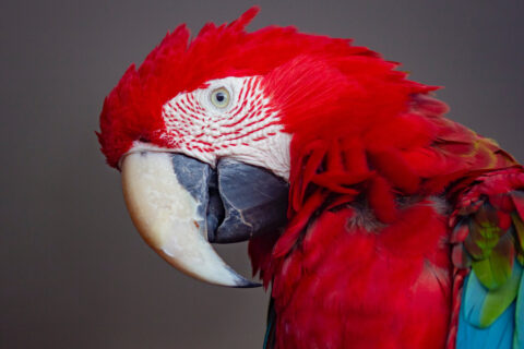 Red Feathers - How it's not always red factor